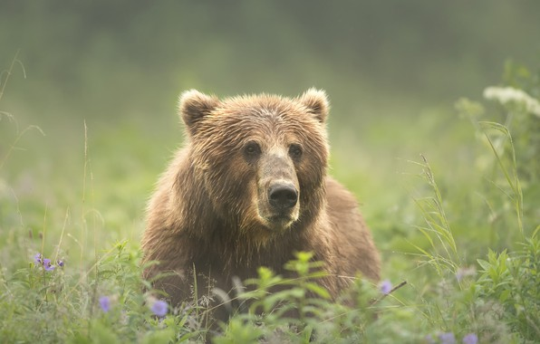 Picture summer, grass, look, face, nature, green, background, glade, portrait, bear, meadow, bear, handsome, brown