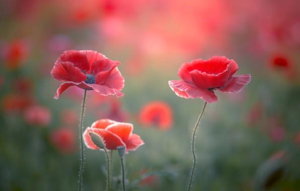 Picture field, flower, flowers, Mac, Maki, Spring, Summer