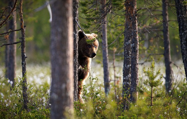 Picture forest, look, face, tree, bear, trunk, stand, brown, Peeps