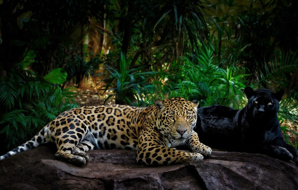 Picture greens, look, leaves, light, pose, the dark background, stones, palm trees, thickets, two, paws, Panther, …