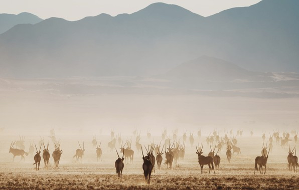 Picture field, hill, Africa, Namibia, the herd, antelope, Oryx, pasture