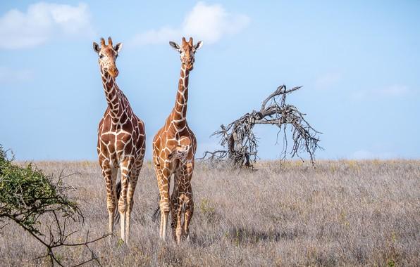Picture giraffe, pair, Savannah