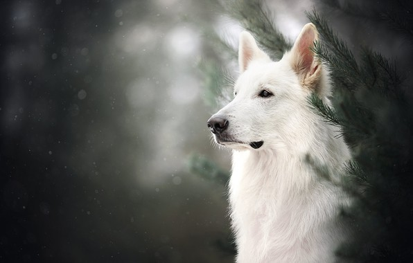 Picture face, branches, portrait, dog, bokeh, The white Swiss shepherd dog