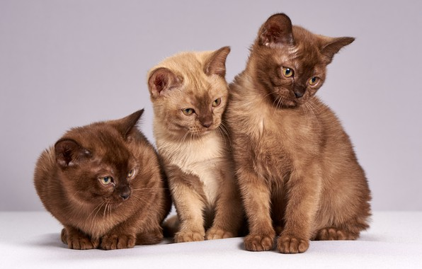 Picture look, cats, pose, kitty, background, light, kittens, three, kitty, trio, brown, cuties, sitting, chocolate, British, …