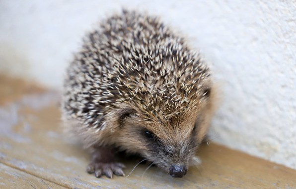 Picture nature, background, hedgehog