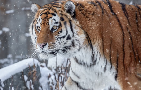 Picture winter, look, snow, view, predator, head, Tiger