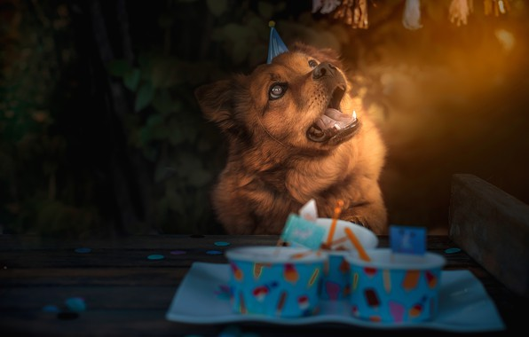 Picture language, face, nature, table, background, birthday, holiday, food, dog, lighting, red, brown