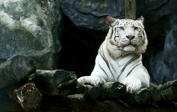 Picture face, tiger, stones, predator, paws, lies, white tiger, resting, handsome, bokeh