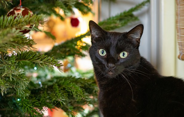 Picture cat, cat, look, face, balls, black, portrait, New year, tree, needles, Christmas decorations