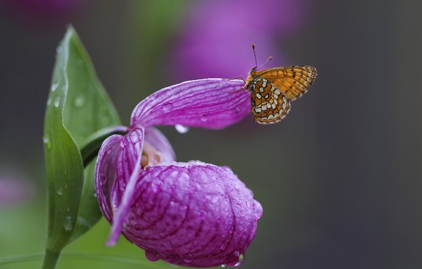 Picture flower, water, drops, macro, nature, butterfly, the metalmark, the lady's slipper