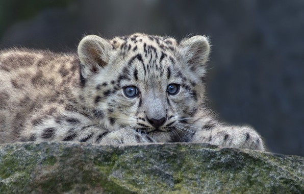 Picture baby, IRBIS, snow leopard