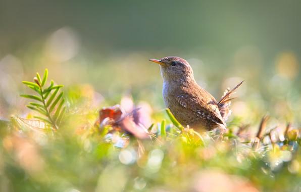 Picture summer, grass, nature, bird, bokeh, Wren