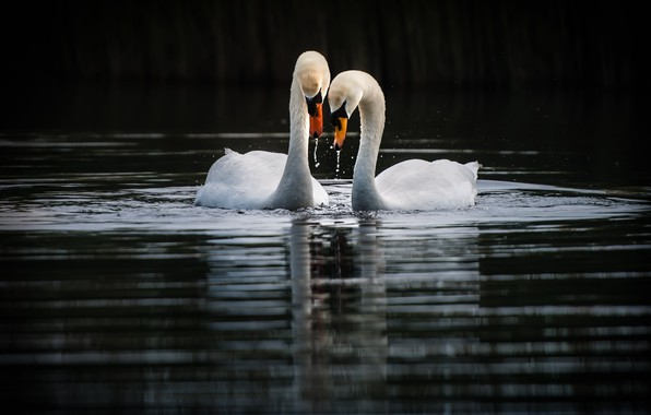Picture birds, lake, swans
