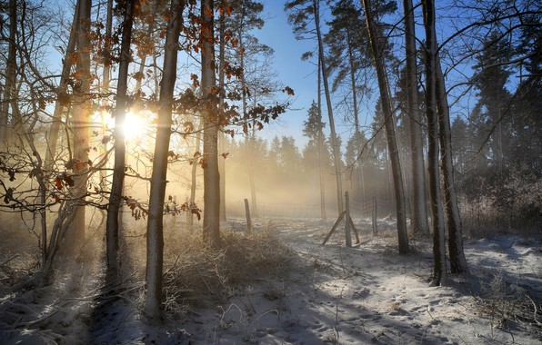 Picture winter, frost, forest, leaves, rays, light, snow, trees, branches, fog, trunks, morning, frost, haze, pine, ...