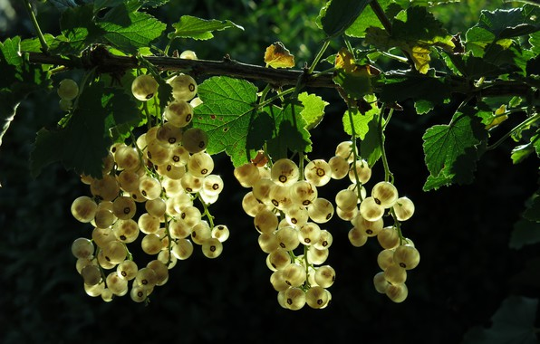 Picture branches, nature, Bush, garden, white currants