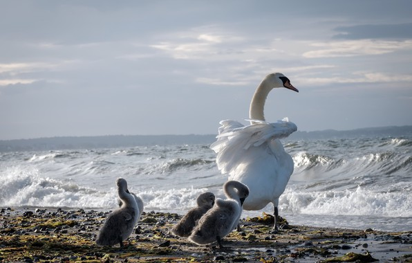 Picture sea, birds, shore, swans