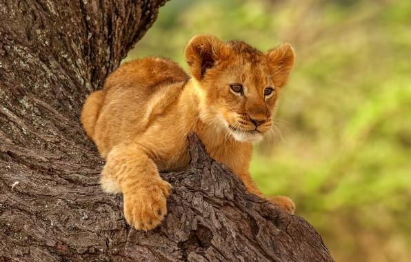 Picture pose, animal, predator, trunk, cub, lion
