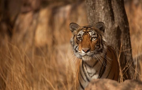 Picture look, face, tiger, predator, wild cat, bokeh