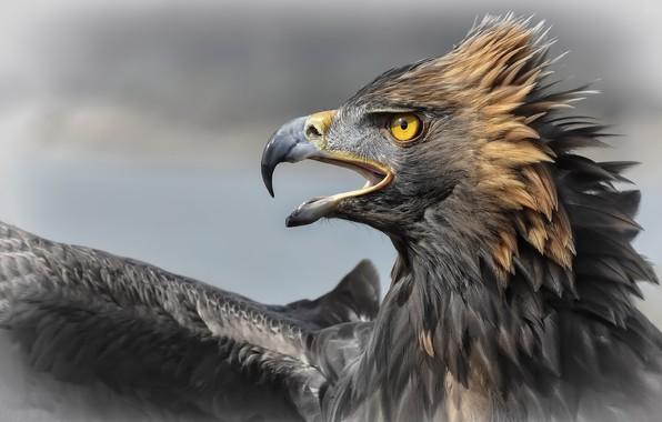 Picture nature, bird, Aguila Imperial