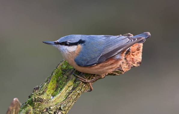 Picture bird, snag, nuthatch