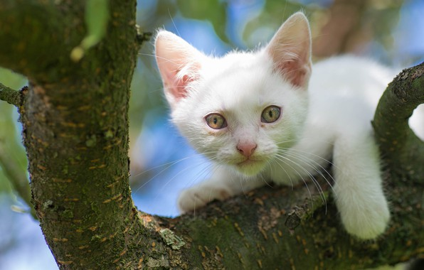 Picture white, look, tree, muzzle, kitty, on the tree