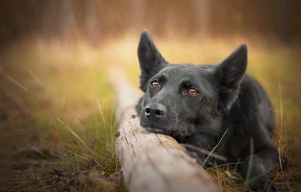 Picture face, dog, log, bokeh