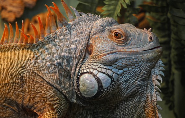 Picture animals, portrait, lizard, iguana, bright iguana
