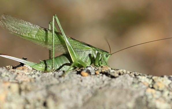 Picture background, insect, grasshopper, locust