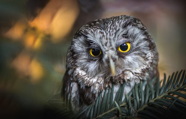 Picture eyes, look, light, close-up, branches, nature, grey, background, owl, bird, portrait, face, needles, coniferous, bokeh, ...