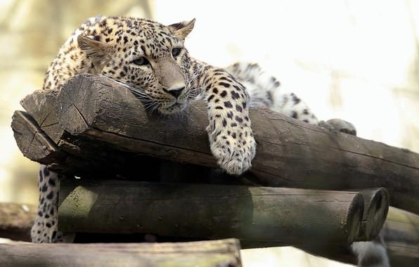 Picture predator, leopard, logs