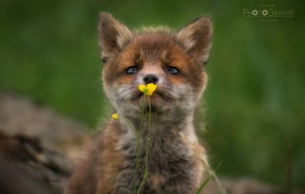 Picture blurred background, Fox, Buttercup