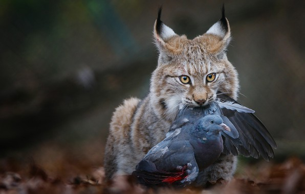 Picture look, face, leaves, nature, background, bird, the victim, dove, predator, hunting, lynx, wild cat, the …