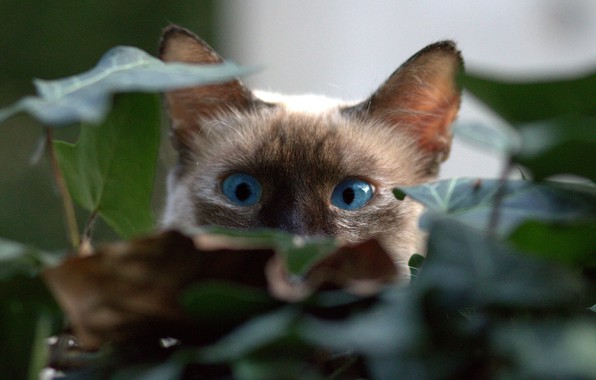 Picture kitty, blue eyes, in ambush, hiding in the foliage