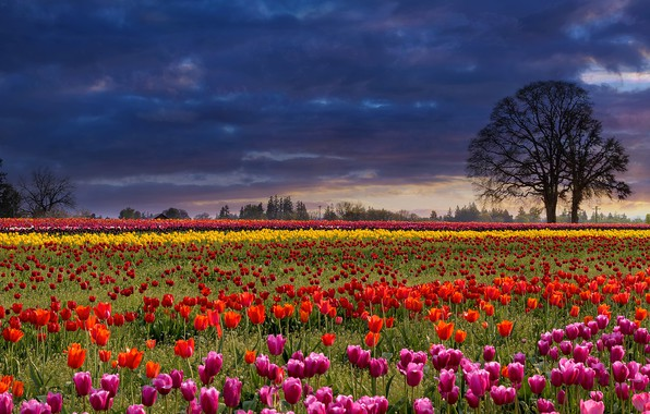 Picture field, the sky, trees, flowers, clouds, strip, glade, spring, tulips, colorful, different, the ranks, plantation, ...