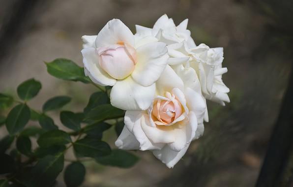 Picture Roses, Roses, White roses, White roses