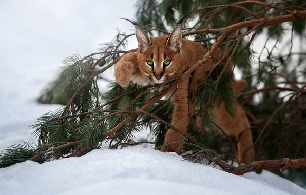 Picture snow, branches, cub, kitty, lynx, wild cat, Caracal