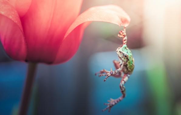 Picture flower, macro, red, pose, Tulip, frog, petal, hanging