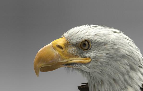 Picture bird, predator, art, bald eagle, Dmytro Teslenko, Eagle model