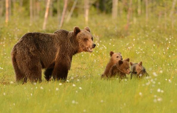 Picture greens, forest, summer, grass, look, face, nature, pose, glade, bear, bears, bear, walk, kids, bears, …