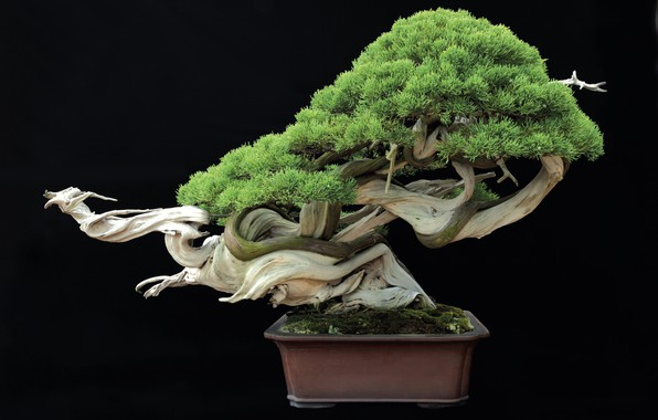 Picture tray, cultivate, Bonsai