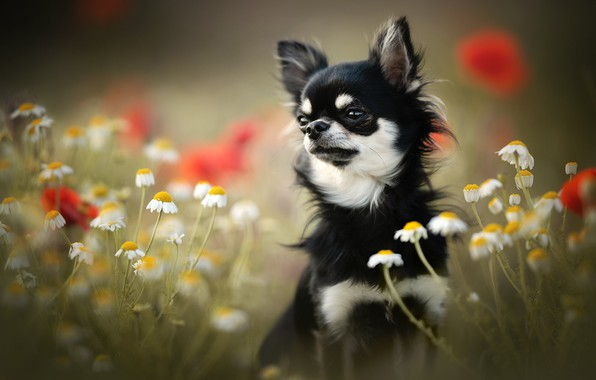 Picture flowers, chamomile, dog, face, bokeh, doggie, Chihuahua