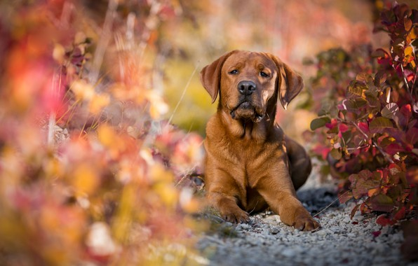 Picture autumn, look, face, leaves, light, branches, nature, pose, background, foliage, portrait, dog, blur, paws, lies, …