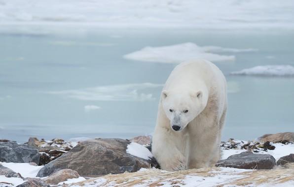 Picture stones, Polar bear, Polar bear