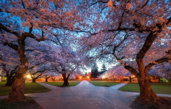 Picture trees, Park, track, garden, Sakura, crossroads