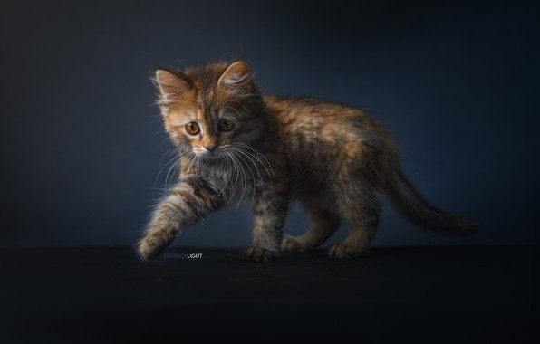 Picture background, kitty, cat, Alexander Drobkov-Light