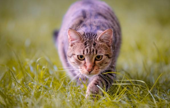 Picture cat, grass, look, muzzle, bokeh