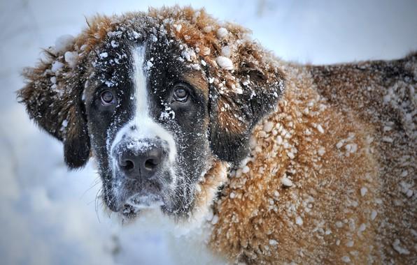 Picture winter, Snow, St. Bernard