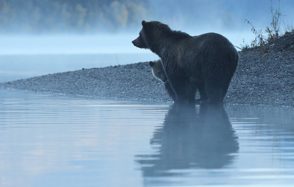 Picture water, reflection, river, morning, bears, bear, bear