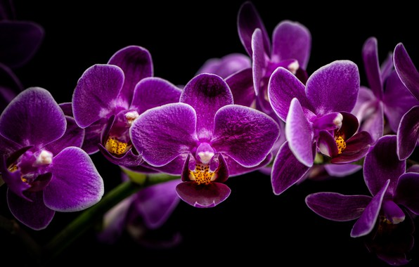 Picture branch, black background, orchids, Orchid, SIRENIA