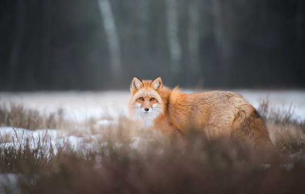 Picture winter, forest, grass, look, snow, nature, pose, the dark background, Fox, red, walk, Fox